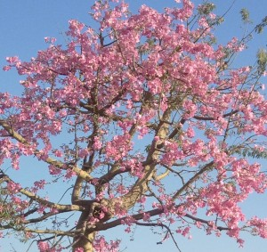 Pink Blossomed Tree Photo
