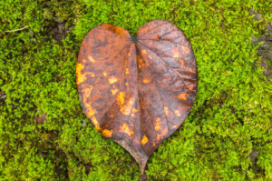 Article 2 Photo - Heart Leaf